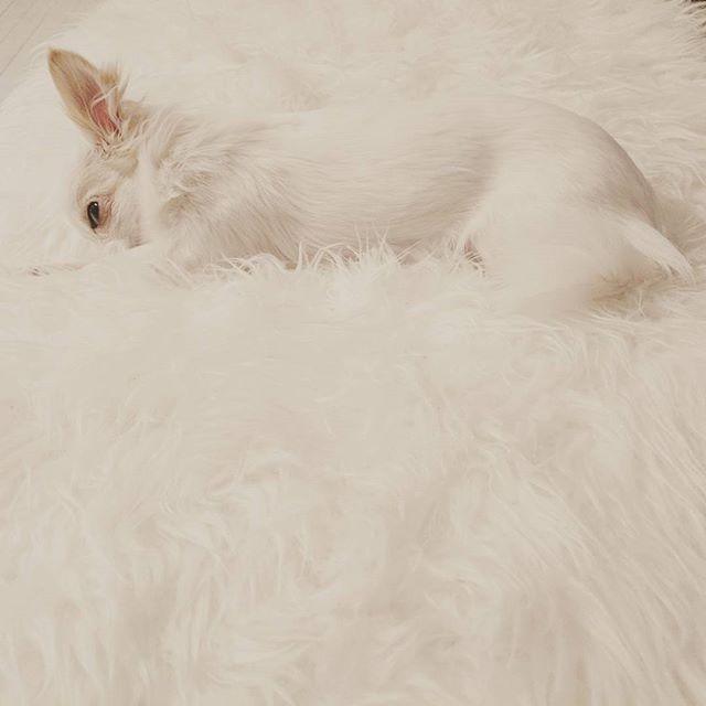 Spot the #puppy @poppythechi 🐩💛🇧🇻