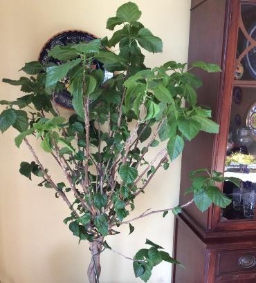 My wilting hibiscus tree