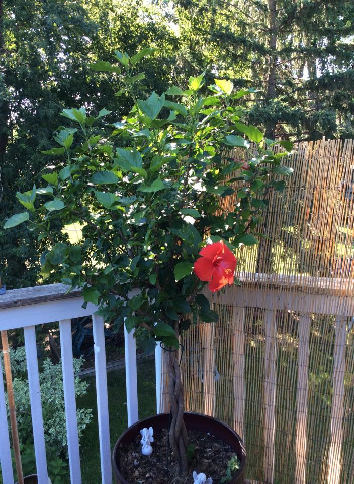 My thriving Hibiscus Tree