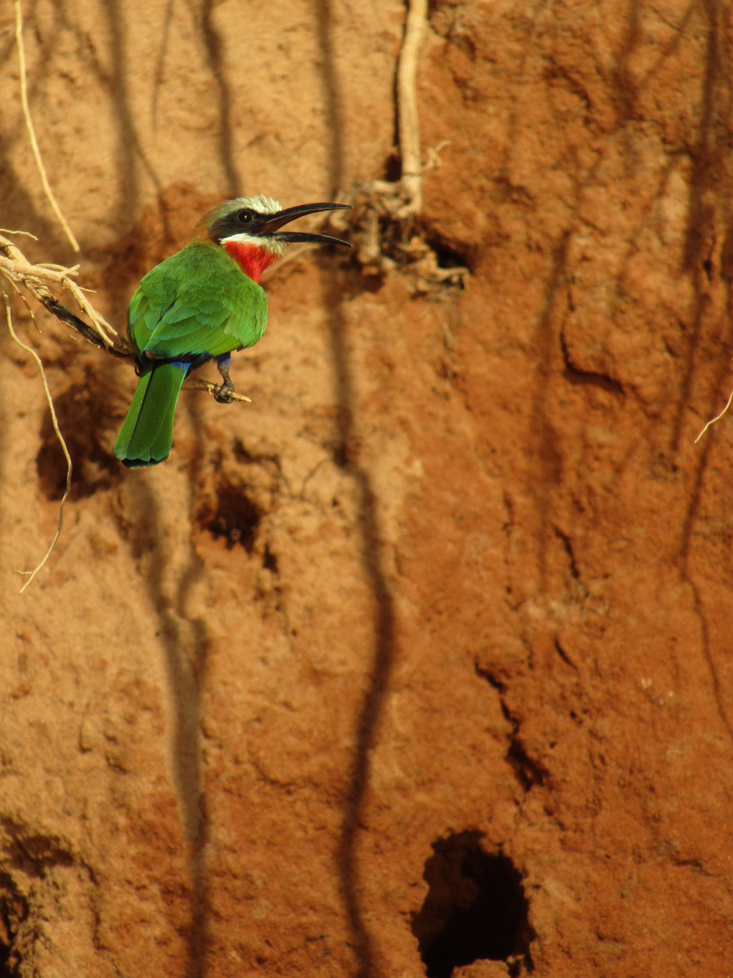 I observed Bee Eaters on the banks of the Rufij River.
