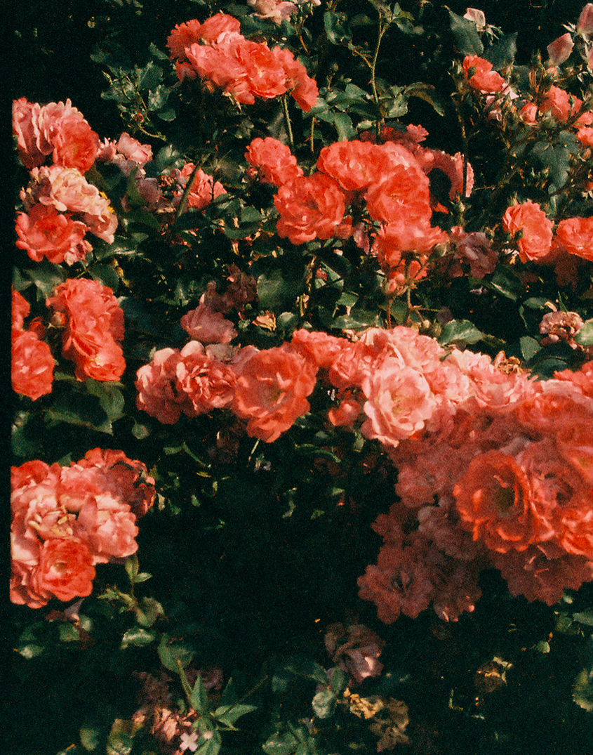 Roses by  Lon .