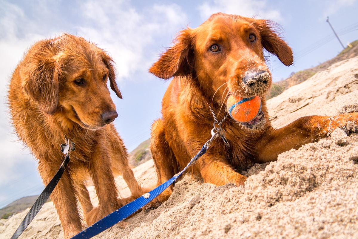 Wasim Muklashy Photography_Pet Photography_Dogs_Low Angle_Ocean Walk Pet Sitting