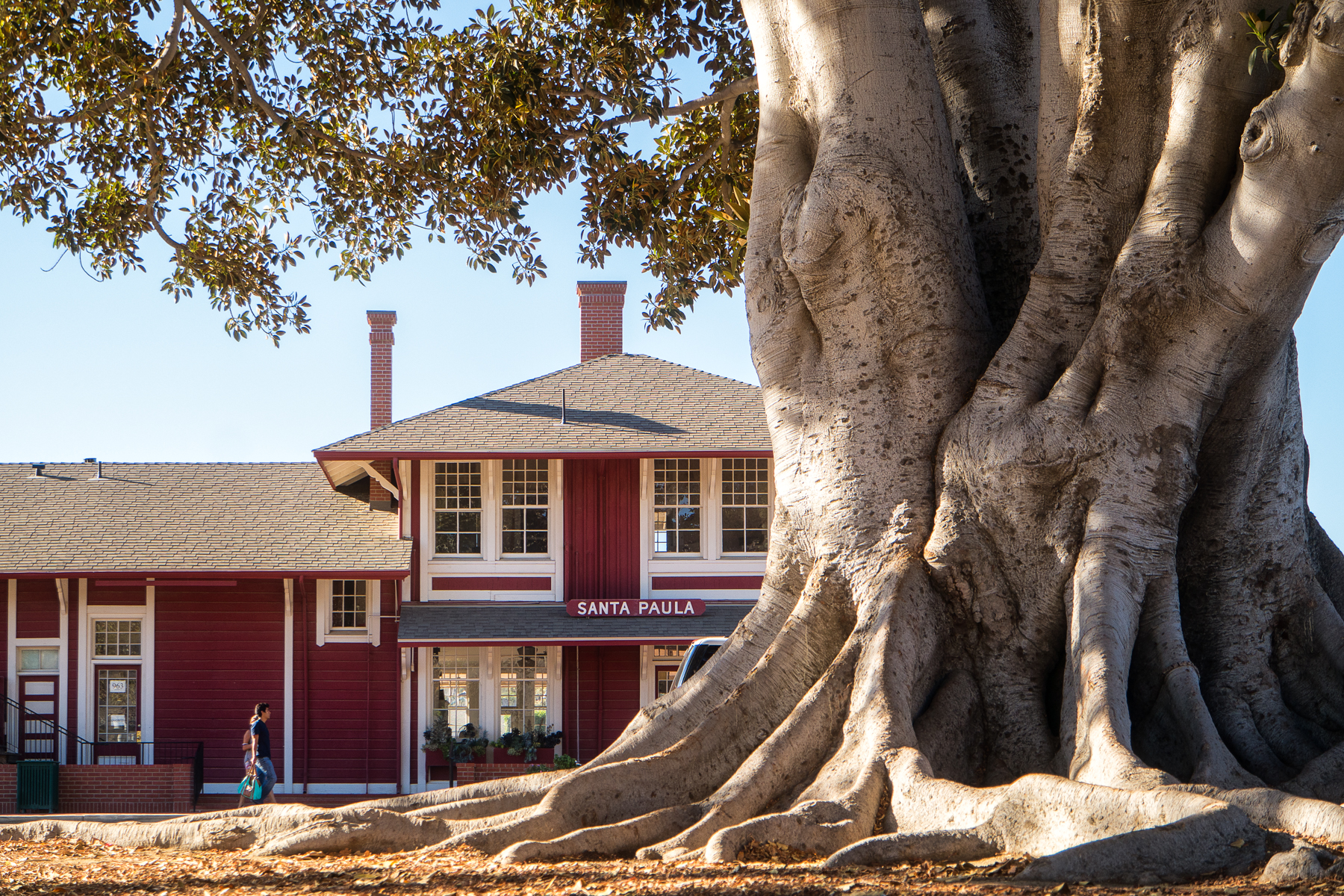 A 135 year old moreton bay fig tree.