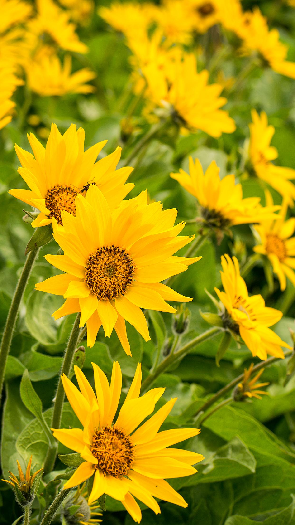 Wasim Muklashy_Sunflowers_Columbia River Gorge_Oregon_iPhone6Plus