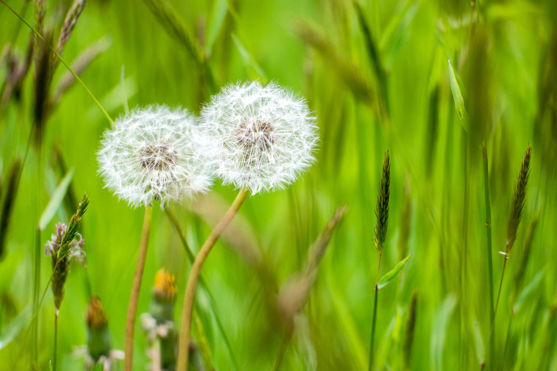 Wasim-Muklashy-Photography_Nature_Landcape_Dandelions