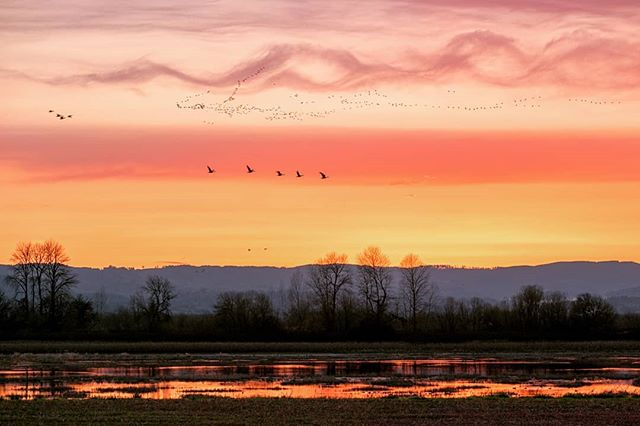- space and time. - a portland oregon zen moment. book 3.  season 1. chapter 46. spring scavenging on sauvie. - www.ByWasim.com - #adventure #beautiful #explore #instadaily #travel #instatravel #trip #zen #pdx #pdxlife #portland #oregon #light #OregonExplored #spring #birds #wildlife #colors #roadtrip #sunset #sky #clouds #landscape #sauvieisland #nature #naturephotography #flying #migration