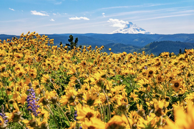 Wasim Muklashy Photography_Columbia River Gorge_Mosier Memaloose Overlook_Wildflowers_Balsamroot_103.jpg