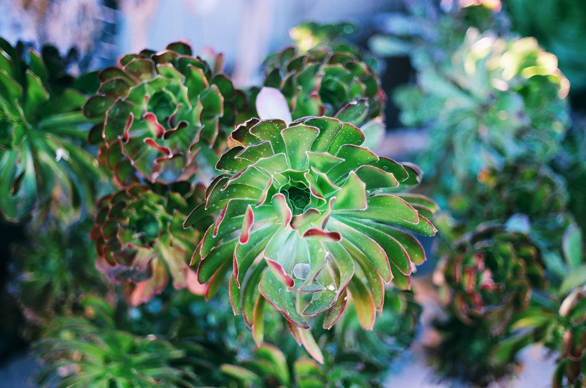 Summer Nights Kodak Ektar 100 Film - Succulents by Ellingsen Photography