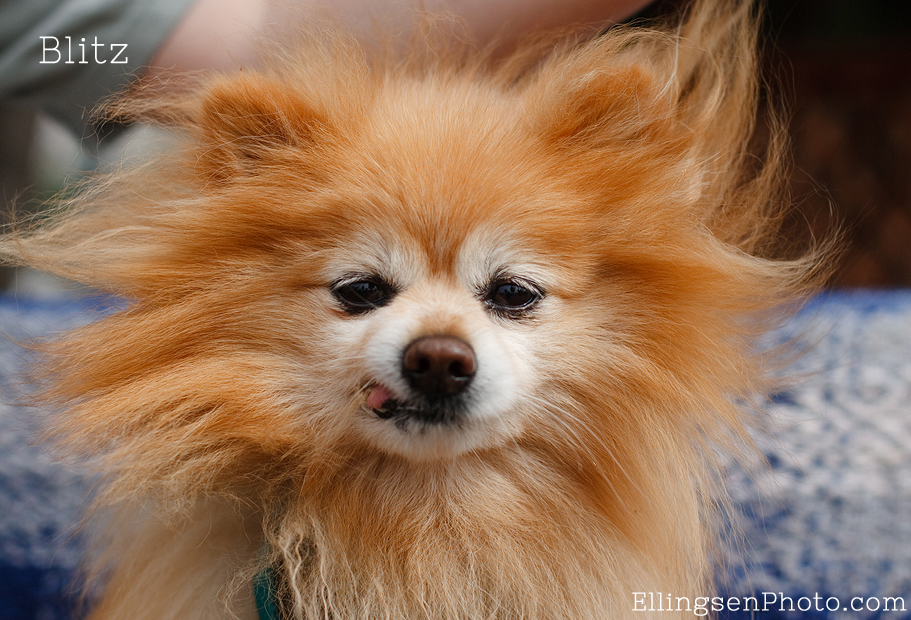 Seal Beach Animal Care Center Adoptable Shelter Dogs by Ellingsen Photography-Blitz the Pomeranian