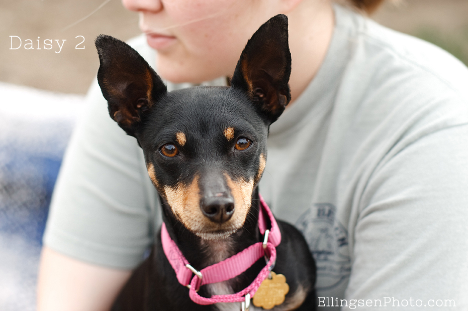Seal Beach Animal Care Center Adoptable Shelter Dogs by Ellingsen Photography-Daisy 2 the Min Pin