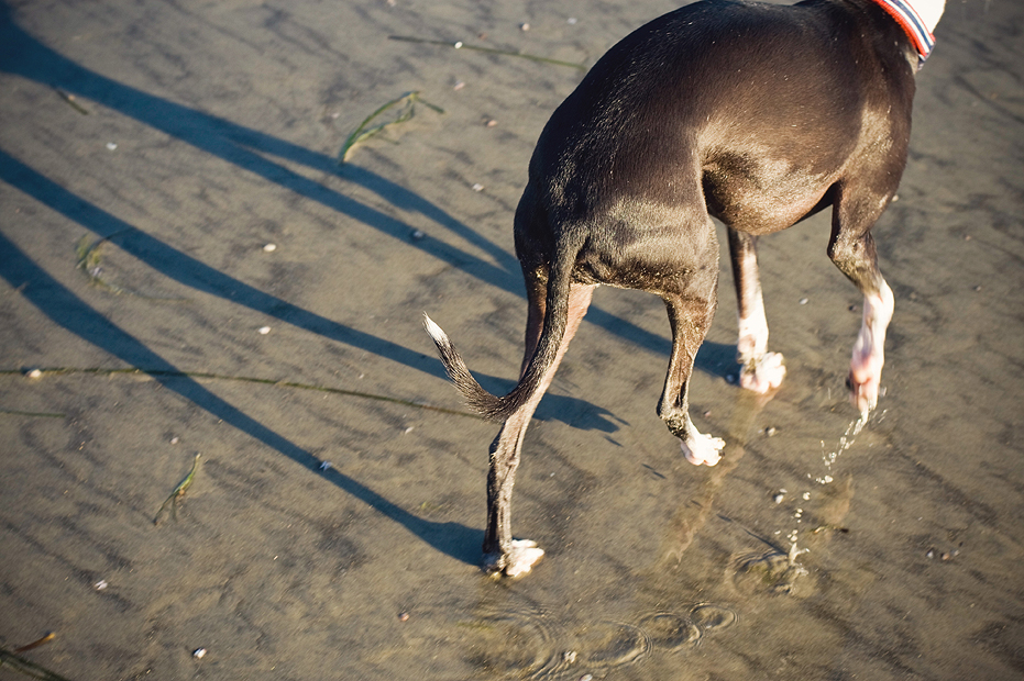 Ellingsen Photography Dante Italian Greyhound at the Dog Beach