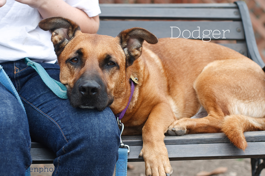 Ellingsen Photography Orange County SBACC Adoptable Shelter Rescue Dogs-Dodger