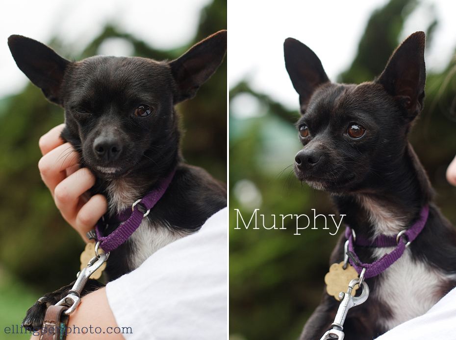 Ellingsen Photography Orange County SBACC Adoptable Shelter Rescue Dogs-Murphy