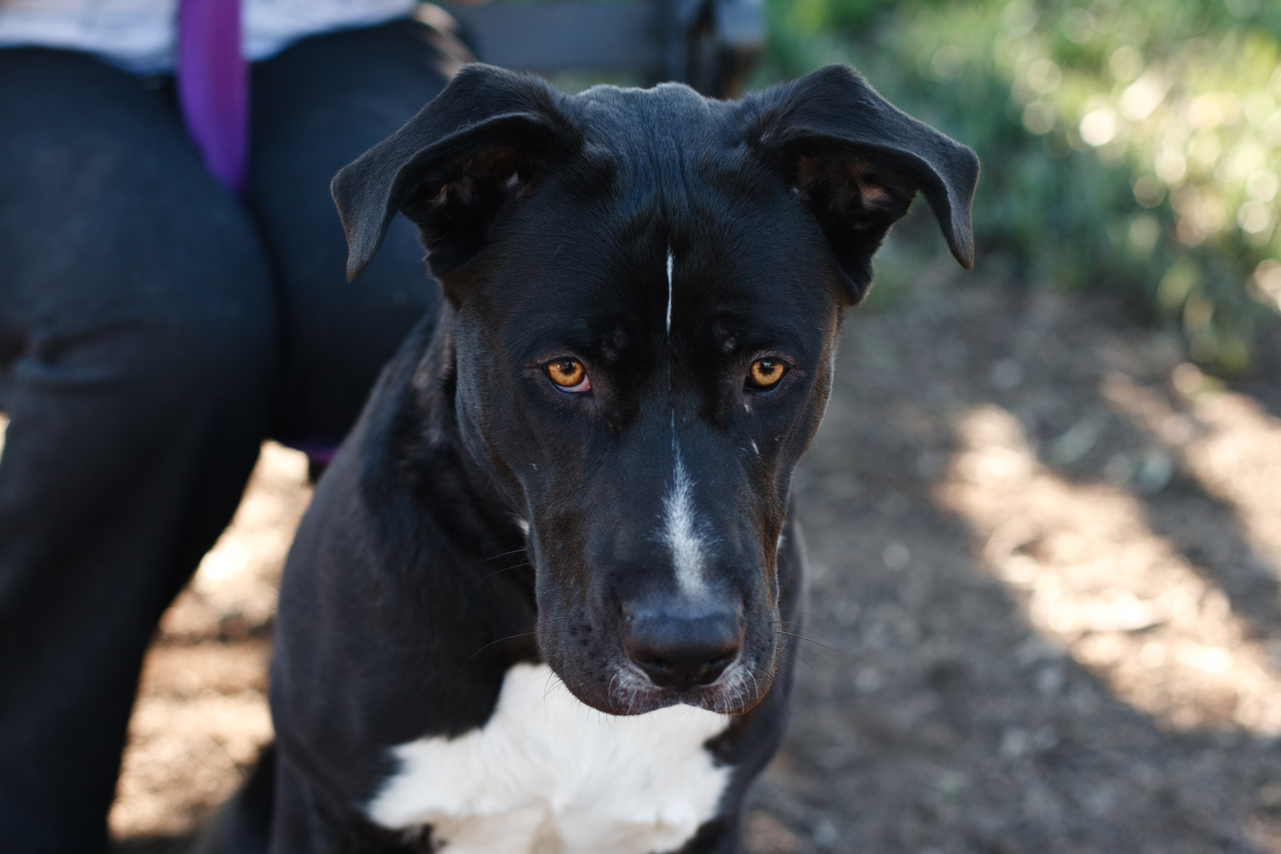 Seal Beach Animal Care Center Adoptable Dogs by Ellingsen Photography-Chaucer