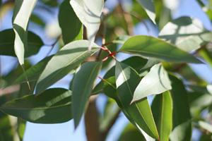 Lemon eucalyptus oil more effective than deet mosquito repellent… - UK study findings, read more >