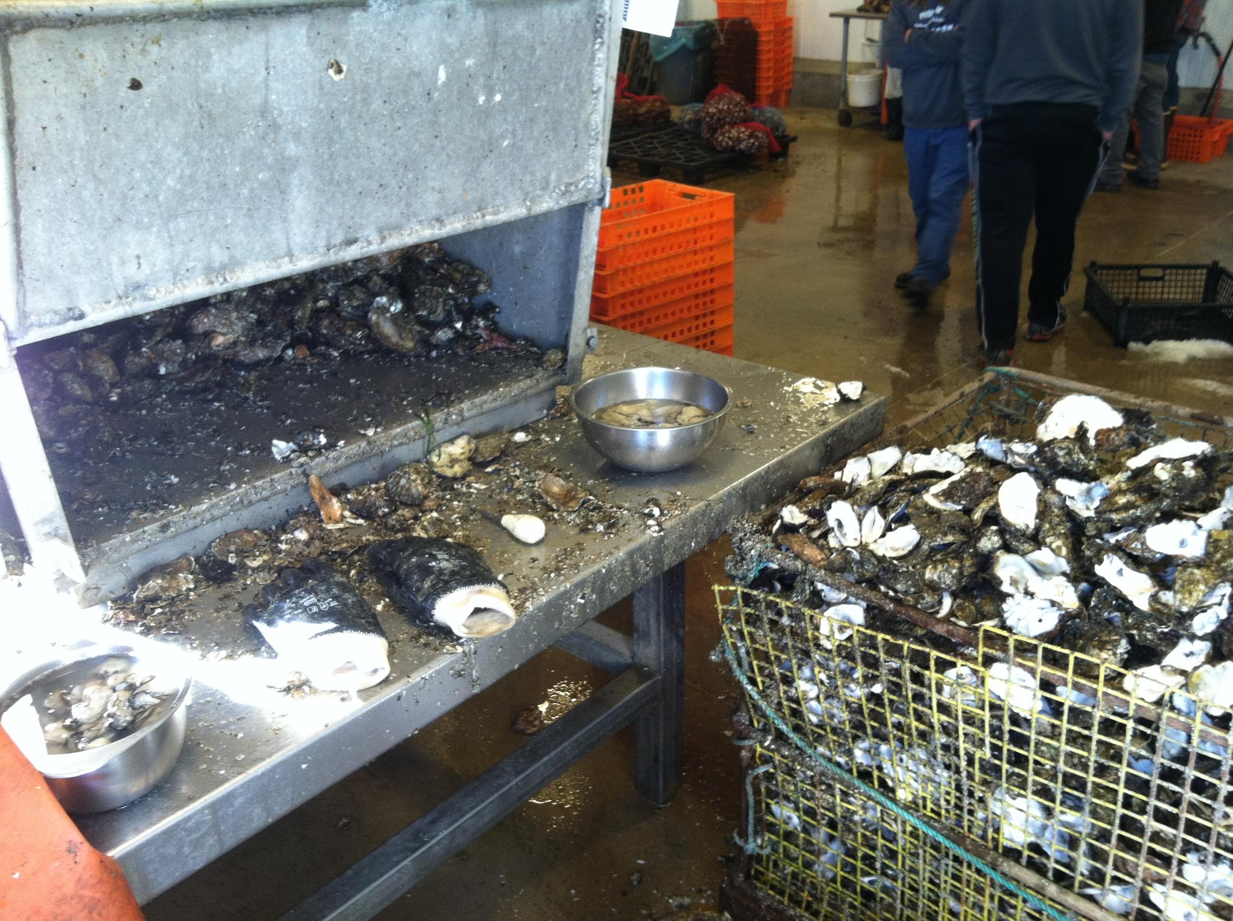 The shucking station at Hama Hama Oyster Company in Lilliwaup, WA.