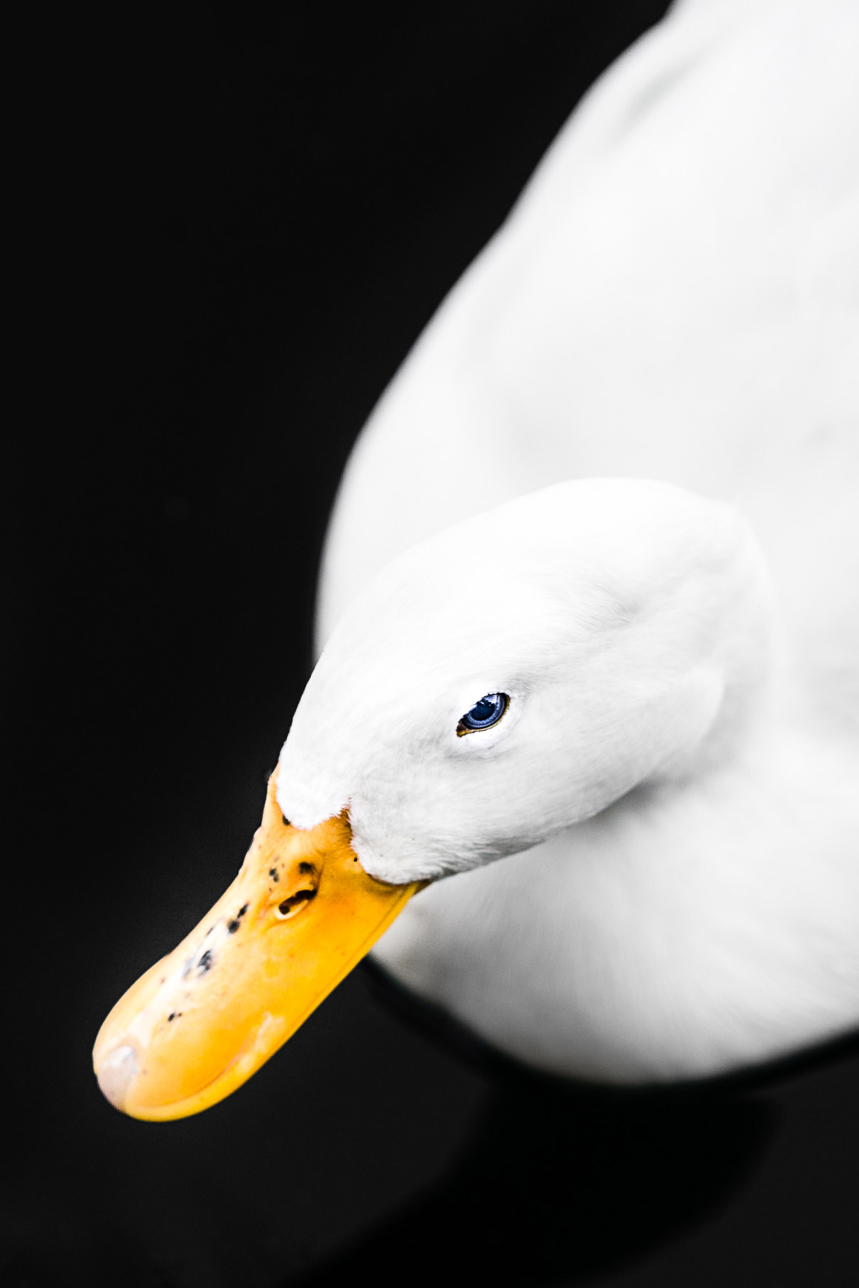 alexa-wright-color-photography-duck.jpg