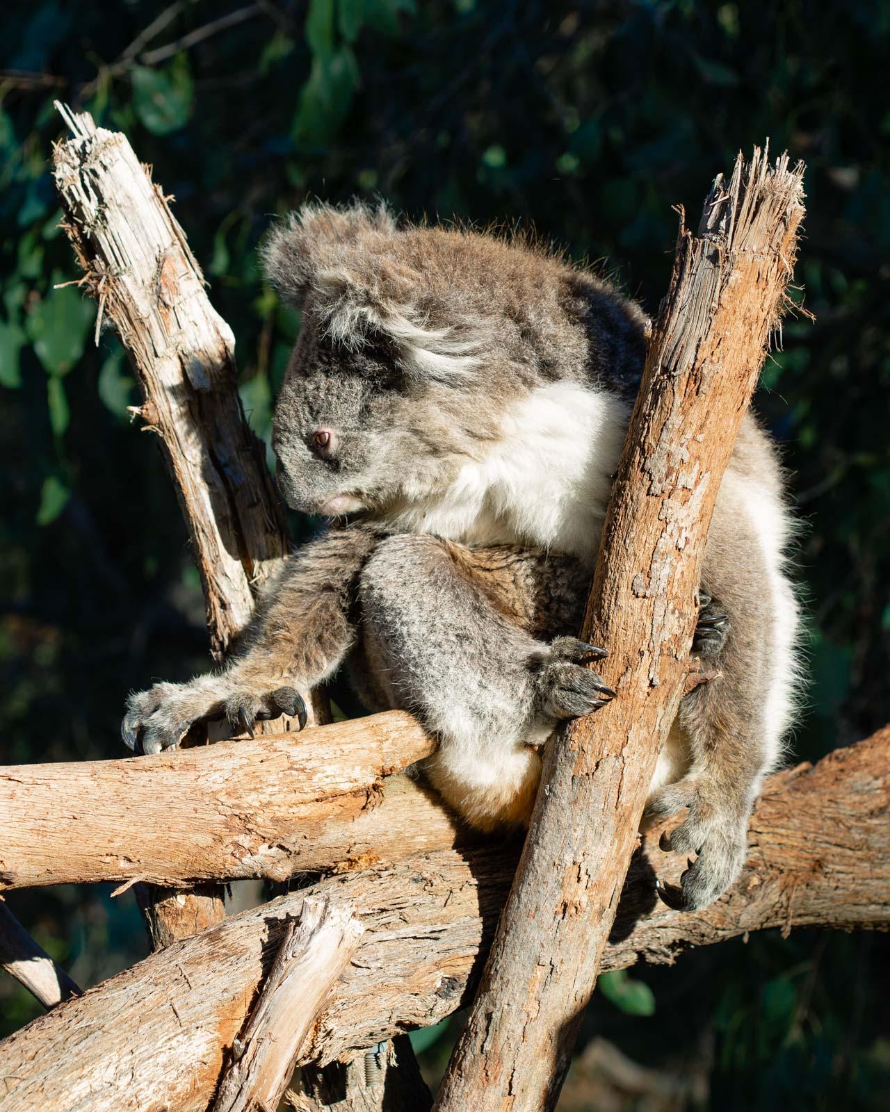 alexa-wright-koala-3.jpg