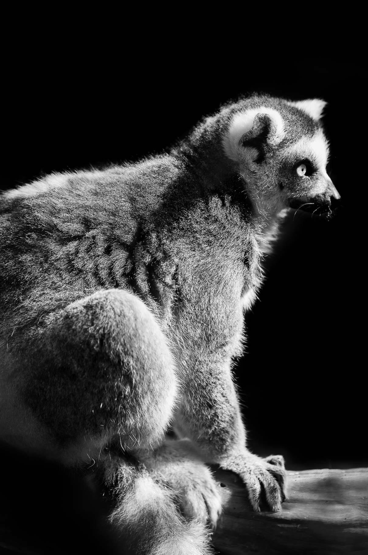 alexa-wright-photography-lemur.jpg