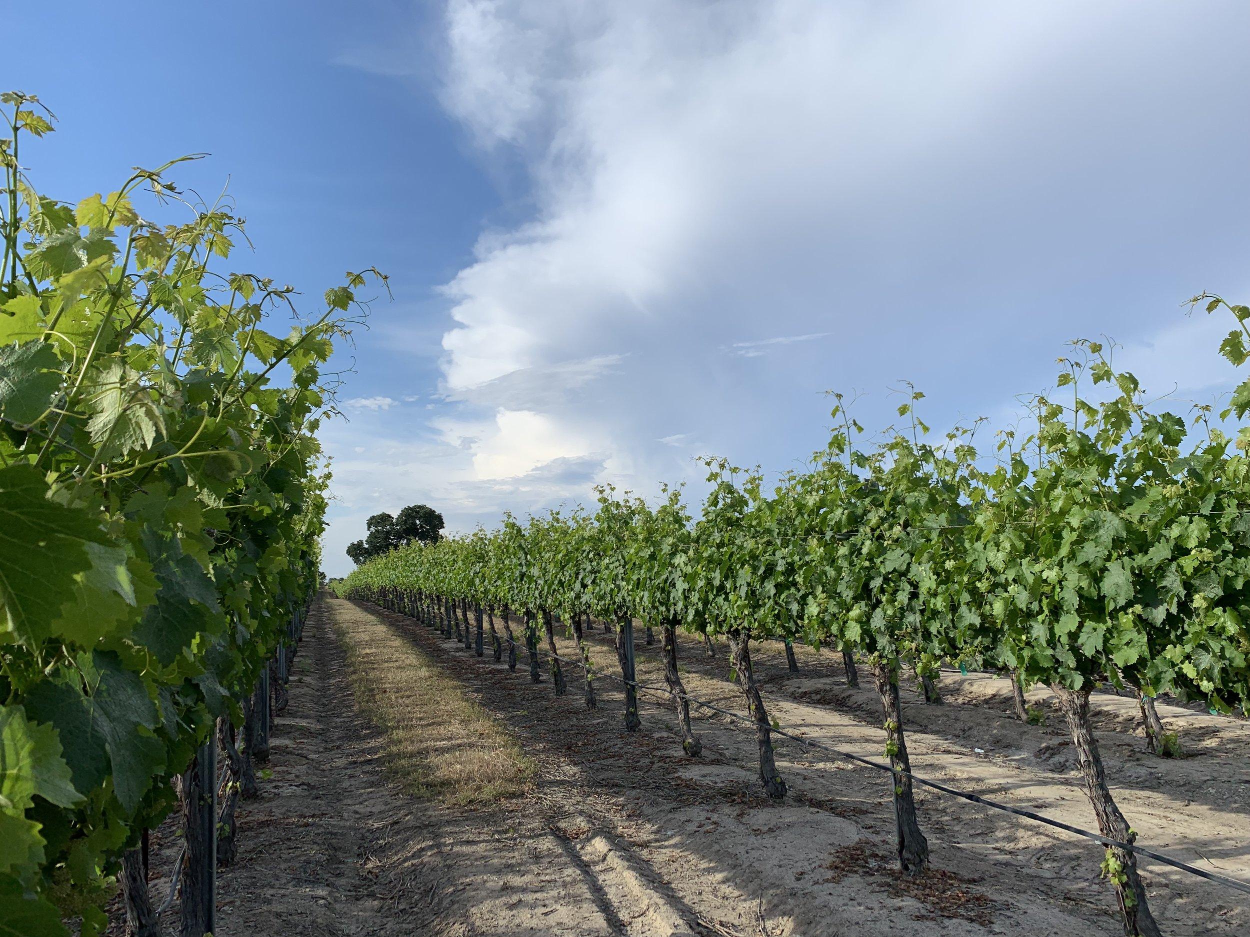 June vines.jpg