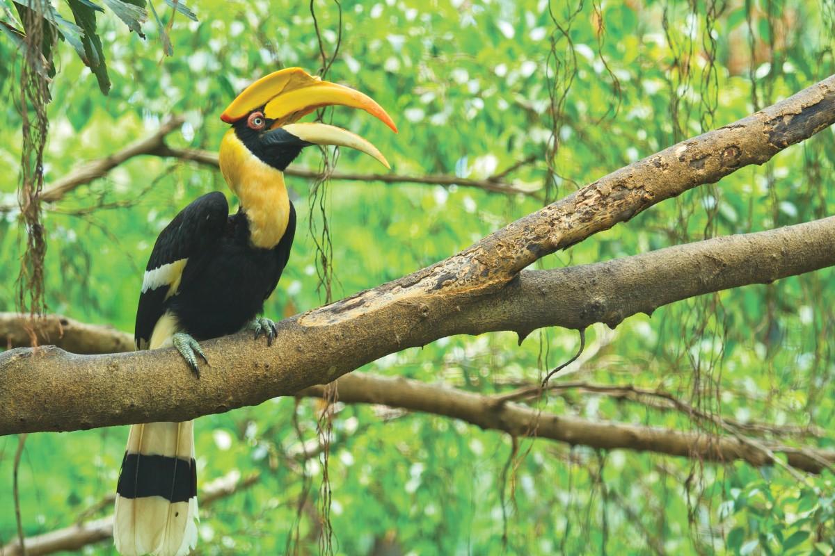 Wa-Ale-fauna-giant-hornbill-01 (Custom).jpg