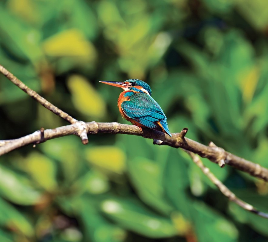 Wa-Ale-fauna-kingfisher-01 (Custom).jpg
