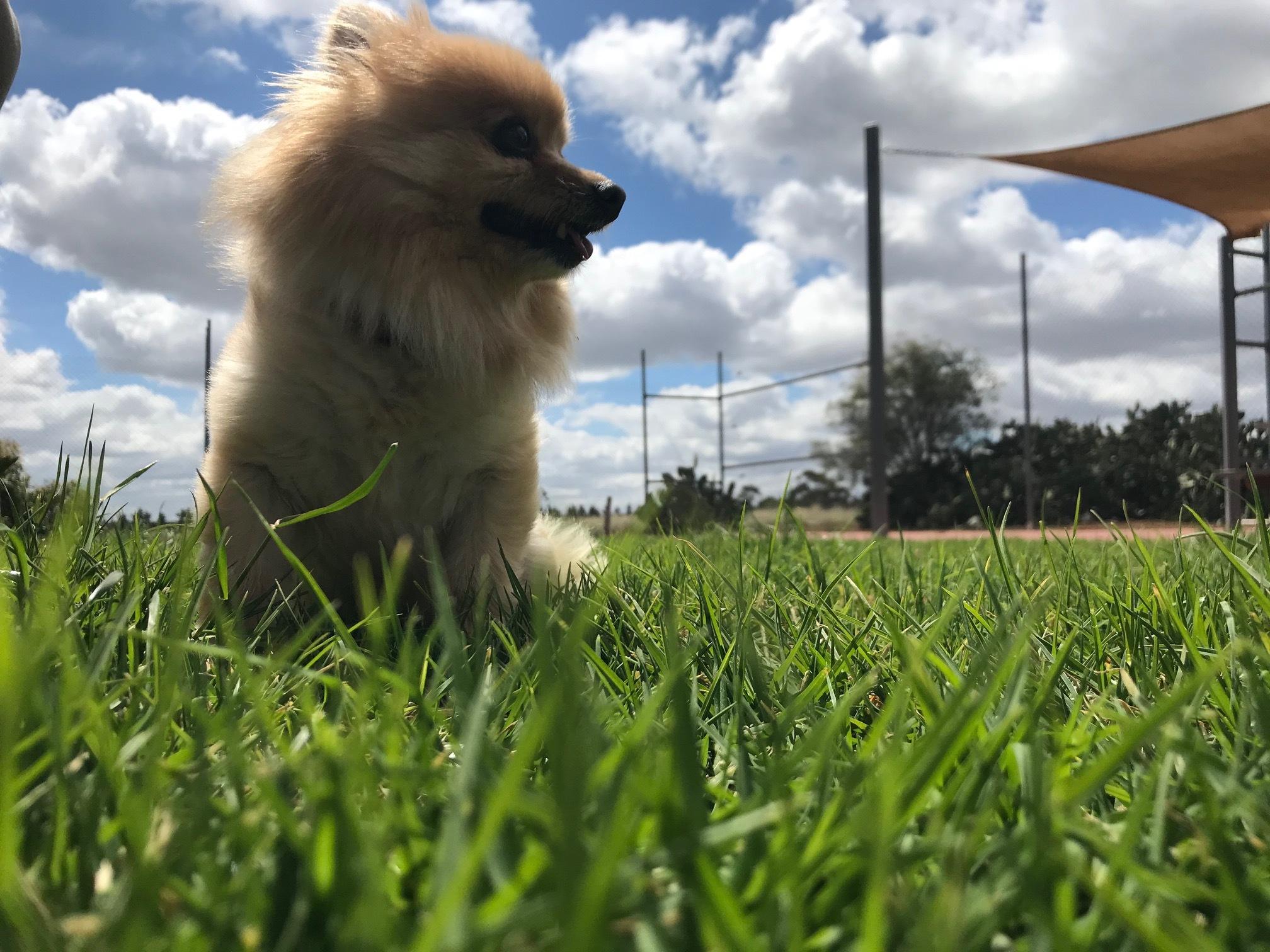 'Kitten' the little Pomeranian enjoying the serenity of 'Paw Print Park'
