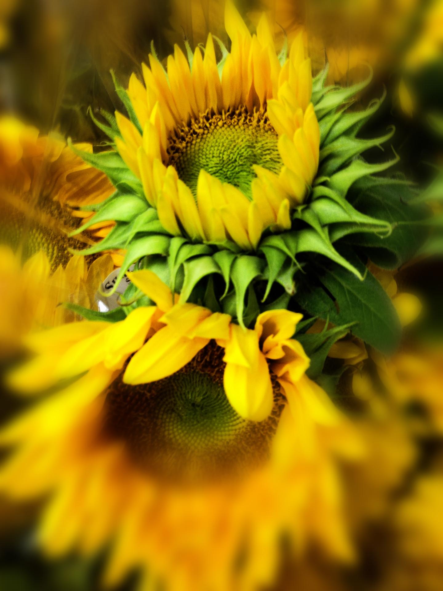 tj sunflowers