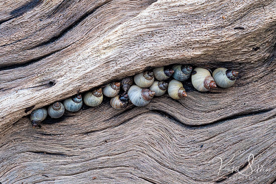 Jekyll Island Low TIde snails on driftwood.jpg