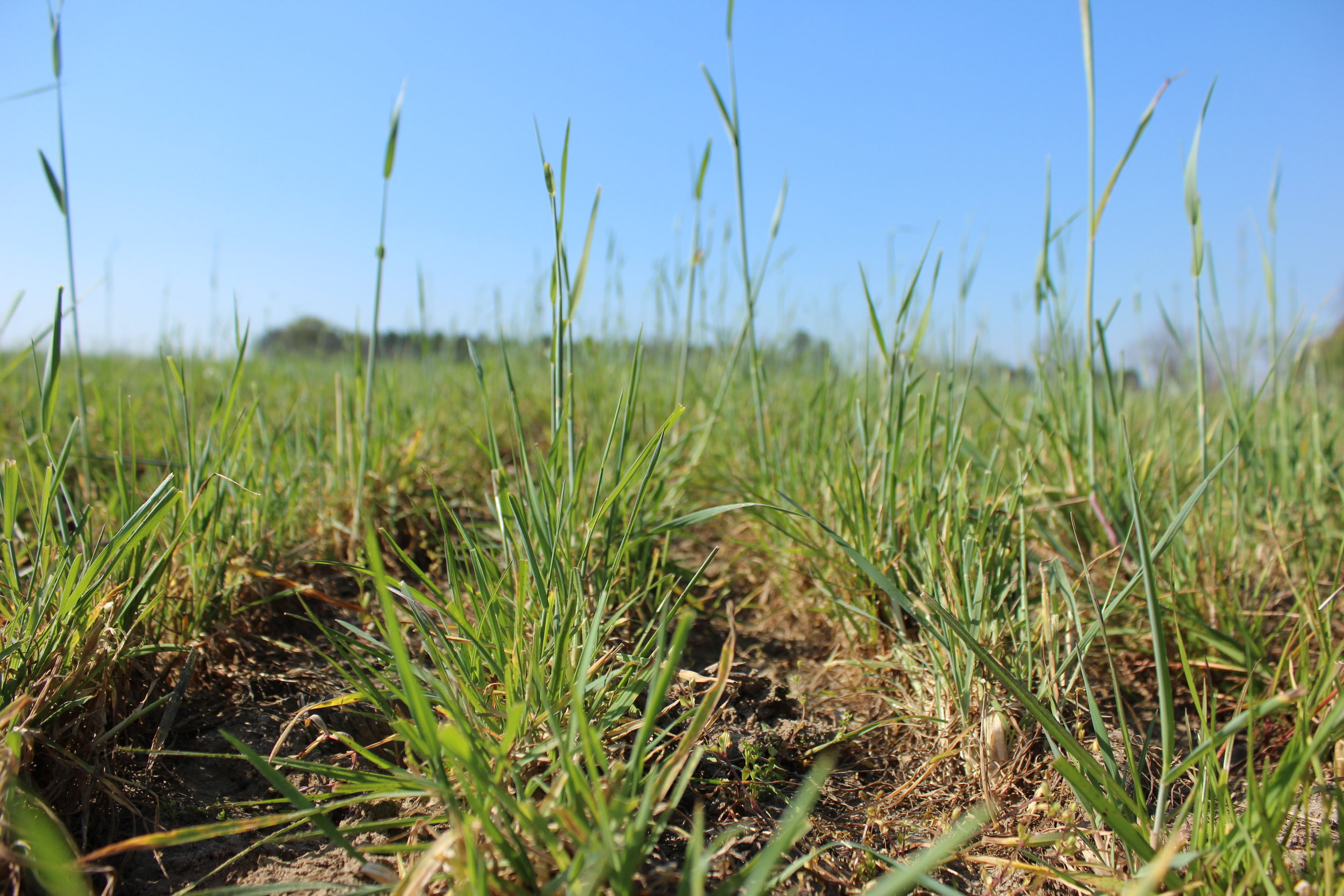Cover crops are an important component of conservation tillage.