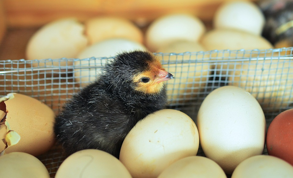 Egg to Chicken - Life Cycles