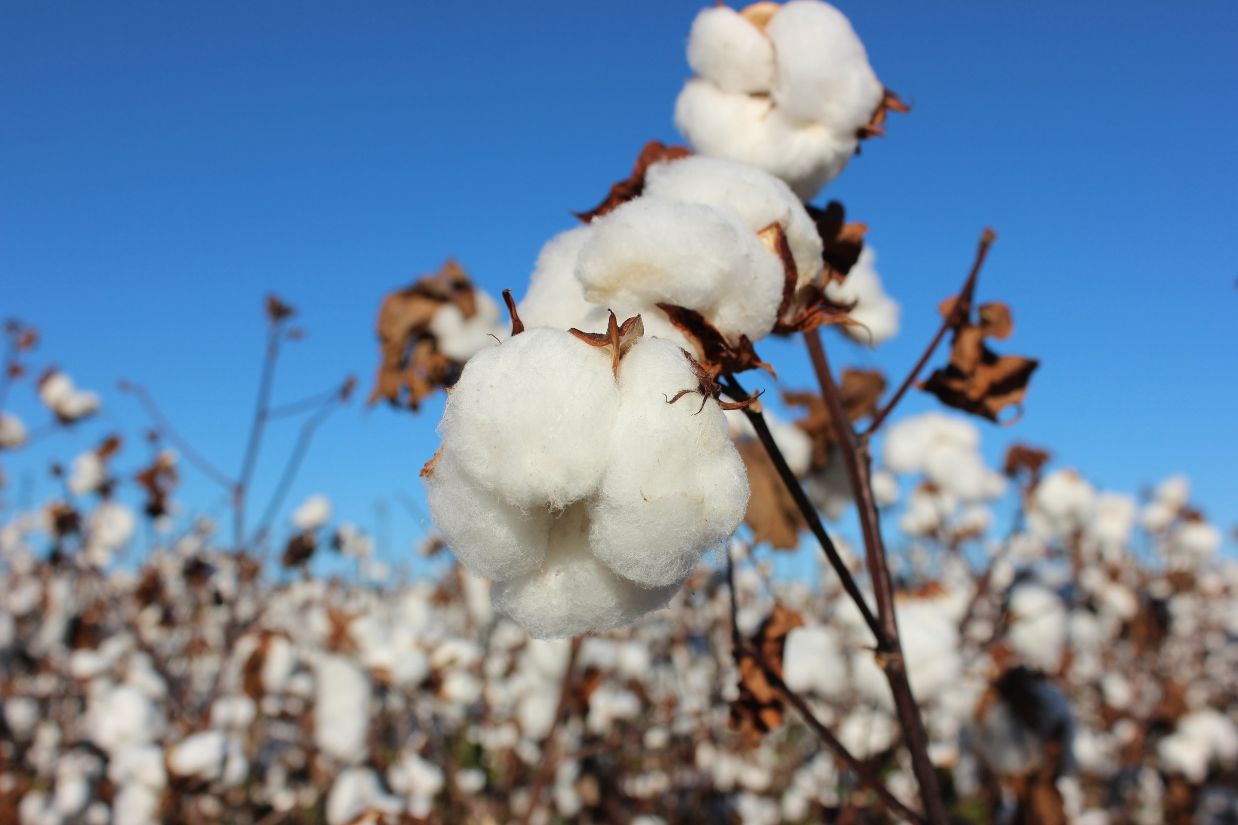 That's a lot o' cotton – Place Value Math Skills