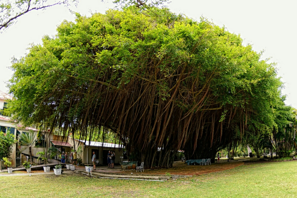 Found on Google - The Bearded Fig Tree