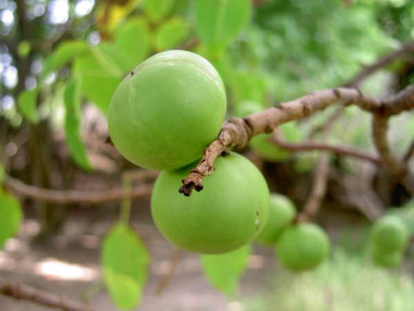 Also known as death apple - Image found on Google.com