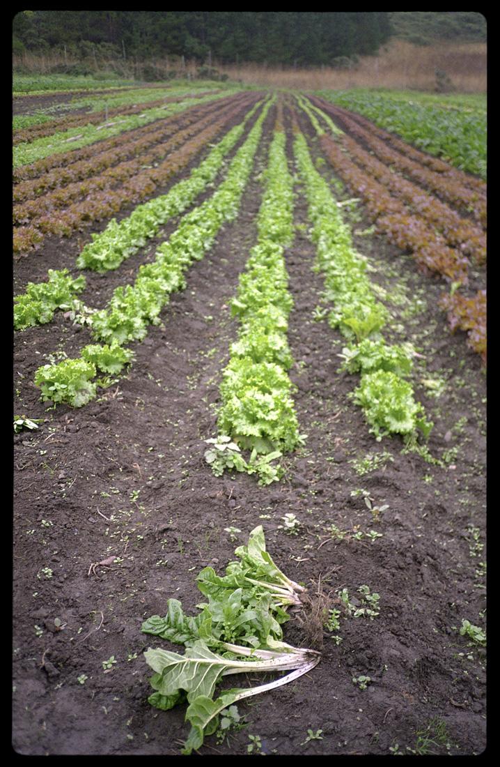 Crop Rows, Green Gulch Farm