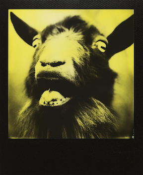 Portrait of a Screaming Goat