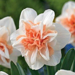 Daffodil-Delnashaugh-17.jpg