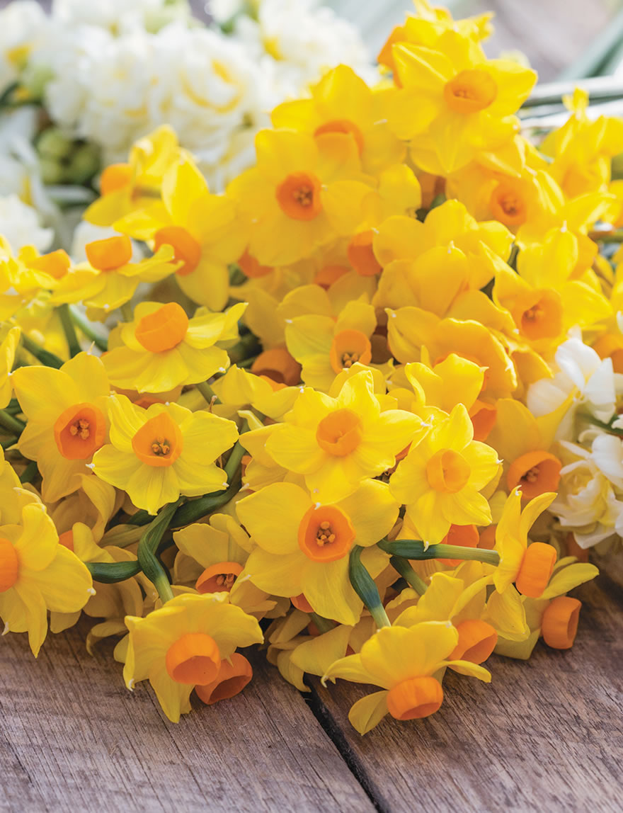 Gift a generous bunch of colourful Daffodils