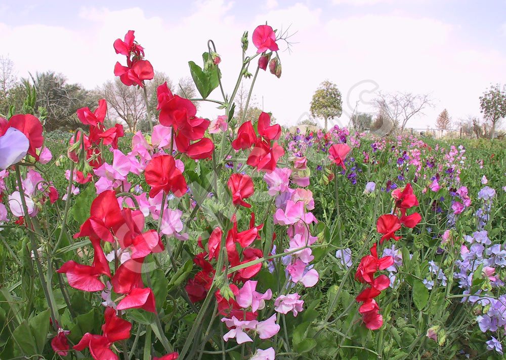Old Spice is an heirloom variety of Sweet Pea. With white stripes on a red flower, it is a highly scented variety. Available via  Eden Seeds .