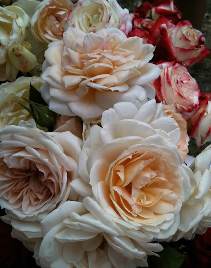 blush pink roses image by blue fruit glamour drops.jpg