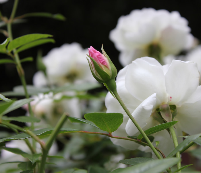 Iceberg Rose - Cold nights will create an enchanting blush tone on this otherwise all-white rose.