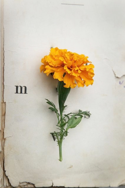 marigold birth flower of the month.jpg
