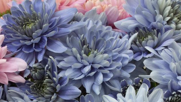 blue chrysanthemum.jpg