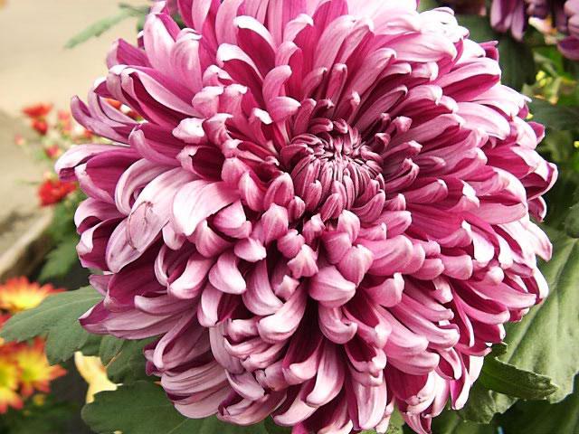 chrysanthemum_grandiflorum.jpg