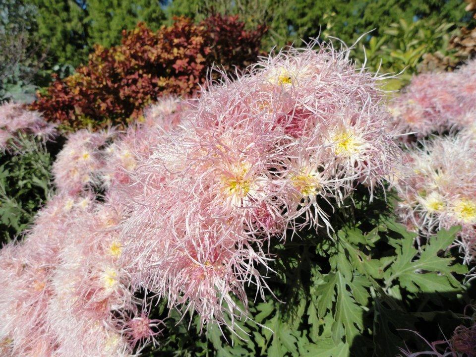 Chrysanthemum-wisp-of-pink.jpg