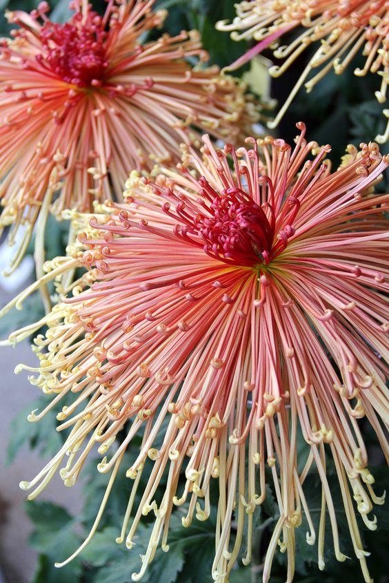 japanese chyrsanthemum.jpg