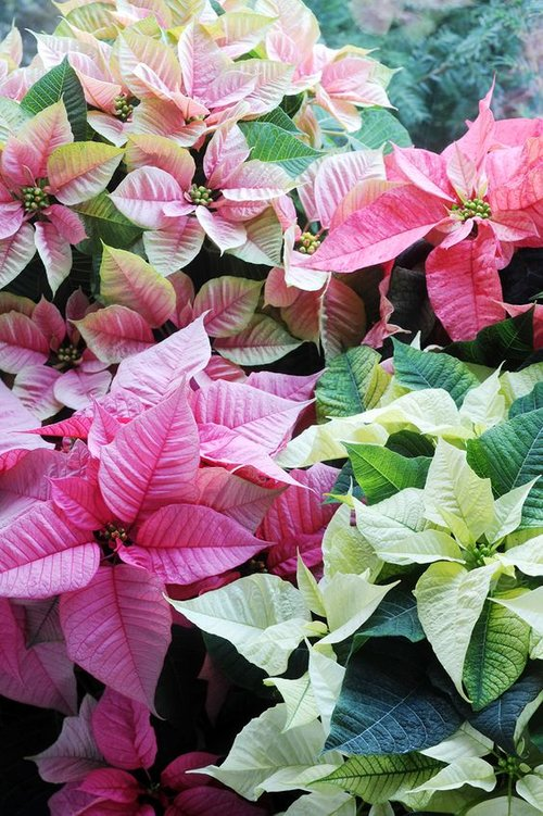 Poinsettia In December Birth Flower Of The Month Future King Queen