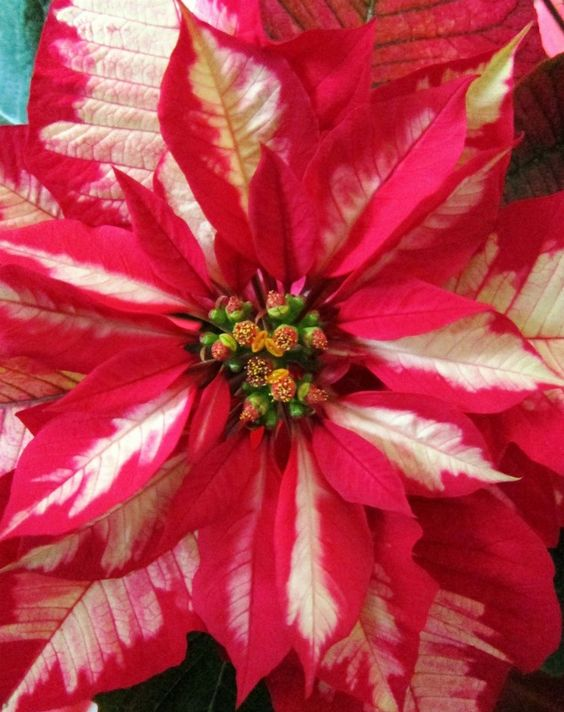 red christmas star poinsettia.jpg