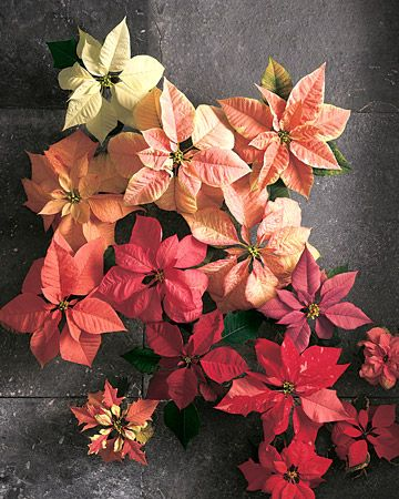 poinsettia christmas.jpg