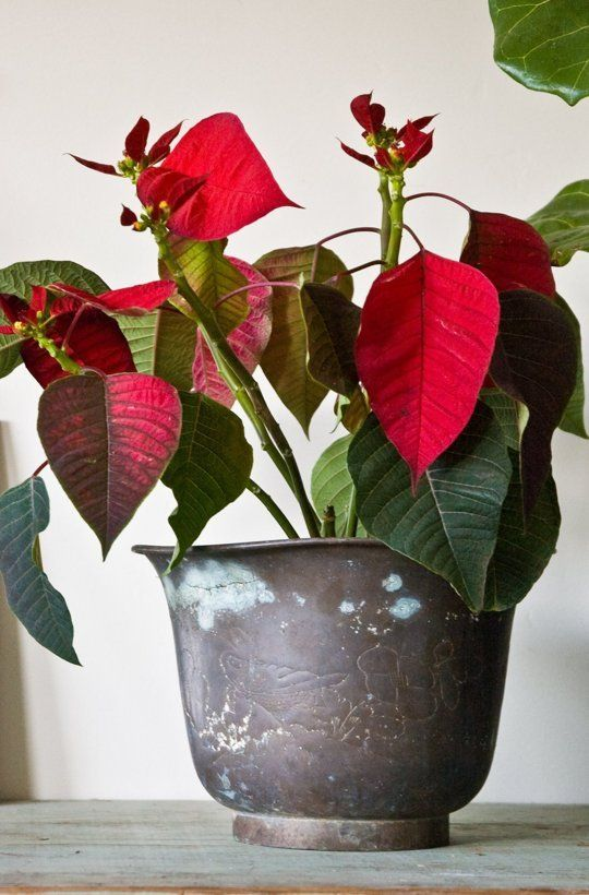 poinsettia red.jpg